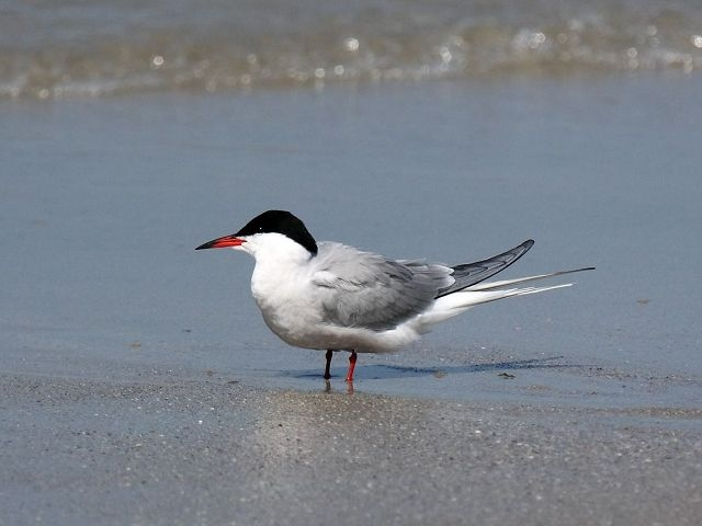 common_tern